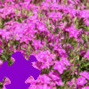 Dianthus Jigsaw Free Game