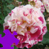 Fourth of July Rose Jigsaw Free Game