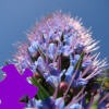 Hyacinth Jigsaw Free Game