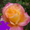 Peace Rose Jigsaw Free Game